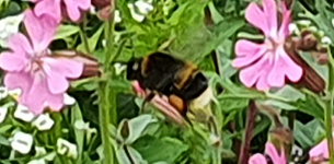 In the news: Basildon Council takes giant step in bringing back pollinators to the borough