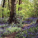 Bluebells in Norsey Wood, Billericay
