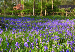 Bluebells Norsey Wood